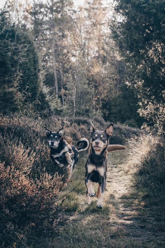 hundar ute i skogen