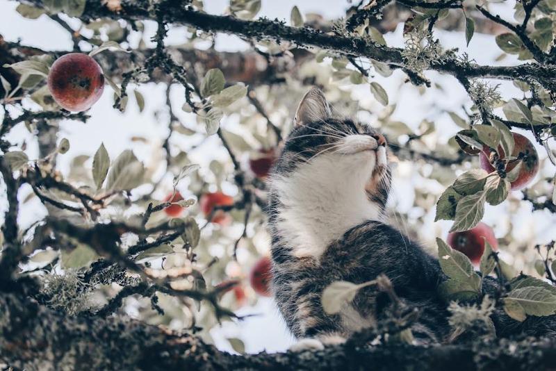 Katt i äppelträd